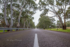 Redgum Highway (Malcom Lang) Tags: redgum redgums riverredgums eucalyptus camaldulensis sky winter 2019 grass green guardrails reflectors largetrees leaves branches twigs bitumen road highway flinders white lines eyrepeninsula eyre lowereyrepenninsula southerneyrepeninsula southernaustralia south southern southaustralia australia australian aussie wet rain canoneos6d canonef2470mm canon