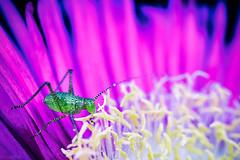 green bug (mouzhik) Tags: 1100sf63iso640 m6 eosm6 canon efm28mmf35macroisstm 28mmmacro 28mm canonefm28mmf35macroisstm мужик moujik mouzhik muzhik zemzem mujik macrophotographie makrofotografie macrophotography macrofotografía macrofotografia макросъёмка makrofotografia macro macrophoto insecte insekt insect bug insecto insetto насекoмое насекoмые inseto owad greenbug
