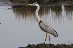 Grey Heron 220419 (1) (Richard Collier - Wildlife and Travel Photography) Tags: wildlife naturalhistory birds britishbirds greyheron