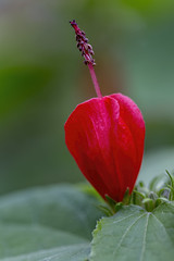 Cardinals Hat 2019-04-06 (5D_32A2521) (ajhaysom) Tags: cardinalshat williamstown canoneos5dmkiii canon100mmlmacro melbourne australia 100flowers2019 image66100