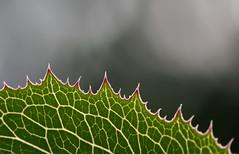 patterns in nature (skloi) Tags: patternsinnature macromondays green bokeh leaf blatt