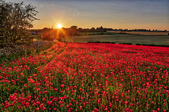Red Sunset (cotswoldman) Tags: poppies landscape colour cotswolds gloucestercameraclub gloucestershire sunset sun sunlight field countryside