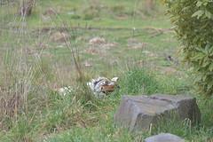 Orana Park (Spreydon) Tags: oranapark tiger