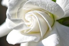 Morning delight (GEMLAFOTO) Tags: gardenia macro fleur flower michelgauthier nikond7100