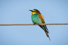 European bee-eater (JS_71) Tags: nature wildlife nikon photography outdoor 500mm bird new summer see natur pose moment outside animal flickr colour poland sunshine beak feather nikkor d500 wildbirds planet global national wing eye watcher