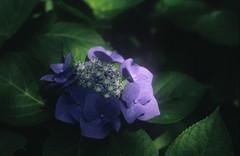 201906_4 (forestgreendog) Tags: expiredfilm flower smctakumar11450 hydrangea 成田 2019