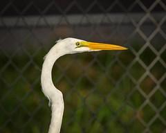 Great Egret- (j.strome) Tags: greategret