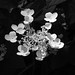 Hydrangea (Explore) (jeffcbowen) Tags: hydrangea blossom nature monochrome explore light