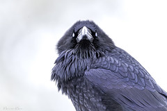 Mondays (Khurram Khan...) Tags: raven birdphotography birds birdsphtography wwwkhurramkhanphotocom khurramkhan yellowstonenationalpark wildlife wildlifephotography wild winter