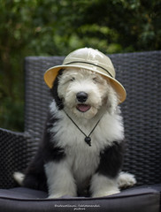 Dr. Teddy Livingstone I presume... today I gonna explore the world, maybe I will find a magic unicorn (dewollewei) Tags: oldenglishsheepdog oldenglishsheepdogs old english sheepdog sheepdogs dewollewei wickedwisdoms pup puppy livingstone dr i presume safari fun adorable puppies pups hat bobtail dogs dog puppie