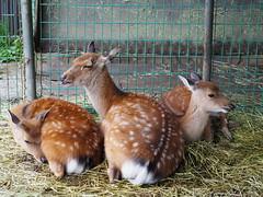 a trio (murozo) Tags: deer animal mtchokai odaira yuza yamagata japan 鹿 動物 鳥海山 大平山荘 遊佐 山形 日本