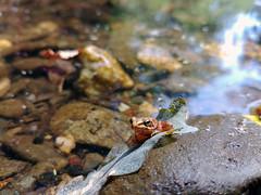 Cute orange Frog (Rafael_Santos_7) Tags: nature animal frog amphibian wildlife water pond outdoors leaf wet closeup summer lake animalsinthewild river forest swamp beautyinnature macro rockobject lg g6 mobilephone lgg6