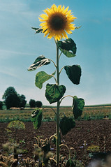 Astrum (alf sigaro) Tags: zorki zorki1e industar223550 industar22 industar fed m39 sonnenblume sunflower badenwürttemberg astrumnegativefilm astrum kodakaerocolor