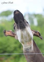 DSC_2342-001 (Fiona Ruth) Tags: okapi okapijohnstoni africanmammal forestgiraffe artiodactyla mammal marwellwildlife