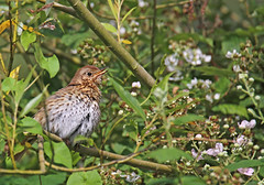 Song Thrush - Michael Bird (Just call me Doc) Tags: songthrush attenboroughnaturereserve nottingham nottinghamshire canon tamron g2 6d 150600mm michaelbird