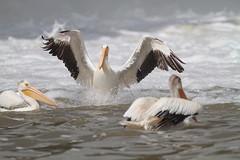 Incoming (prairiedog (in and out)) Tags: northamericanwhitepelican pelican wildlife wildlifephotography nature birding birds waterfowl manitoba standrewslockanddam canada