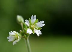 Eat the Weeds (jmunt) Tags: wildflower flower chickweed stellariamedia