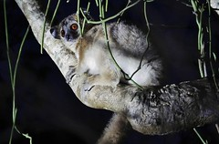 Sportive Lemur At Night ( L. septentrionalis) (Susan Roehl) Tags: madagascar2017 islandofftheeastcoastofafrica berentyreserve sportivelemur nocturnal mediumsizedprimates familylepilemuridae onlyoneextantgenus eclusiveandendemictoisland eyeshine strictlynocturnal highintree shorthead largeroundears 30to35cmlong primarilyarboreal longjumpsintrees hopsonground solarity agressiveagainstintruders asingleyoungsterborn canliveupto8years sueroehl photographictours naturalexposures panasonic lumixdmcgh4 100400mmlens handheld cropped ngc coth5