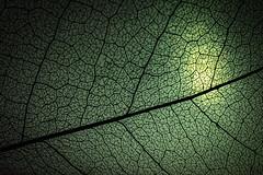 Like Wings of Fairies (Nina Maryann) Tags: leaf skeletonleaf veins fairywing macromonday patternsinnature patterns green
