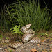 Bullsnake (cre8foru2009) Tags: approved