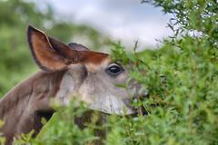 DSC_2349-002 no wm (Fiona Ruth) Tags: okapi okapijohnstoni africanmammal animal marwellwildlife artiodactyla