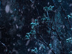 (mellon_) Tags: flowers cold blue snow silence quiet frozen art branches tree