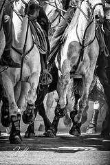 Abrivado, le toro est là bien au chaud (Jeff-Photo) Tags: nb abrivade camargue cavalier cheval chevaux fête horse noiretblanc taureau