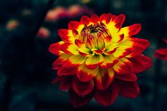 _DSC6888-Edit (imamuan) Tags: flower dahlia ダリア 町田 東京 赤 黄色 春紅葉 red yellow
