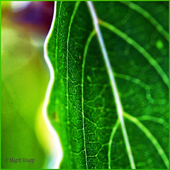 Patterns in Nature (magritknapp) Tags: macromonday patternsinnature blatt leaf feuille hoja folha foglia blad liście 45x68cm 177x267inch