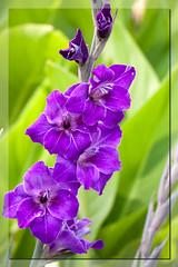Les glaieuls (clamar18) Tags: glaieul france flower mauve jardin fleur mérysurcher vierzon fleurs