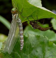 ...gerade geschlüpft! (2) (peterphot) Tags: natur leica libelle juli teich