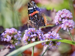 Vanessa Cadui (MarcBphotos) Tags: vanessa cardui painted lady moth butterfly insect flower colors nature bokeh wild life papillon purple