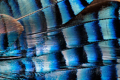 Jay Feathers (Mark Wasteney) Tags: macromondays patternsinnature feathers blue black patterns macro closeup abstract lines