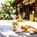 long time no see! (Osaka) (Marser) Tags: xt10 fujifilm raw lightroom japan osaka shrine cat 大阪 神社 猫 貓