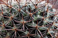 A Pointy Pattern. (WilliamND4) Tags: macromondays patternsinnature cactus plant points pointy sharp tokina100mmf28atxprod nikon d810