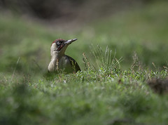 Green Woodpecker (Steve D'Cruze) Tags: picusviridis greenwoodpecker nikond700 sigma150600mm bird green grass dof