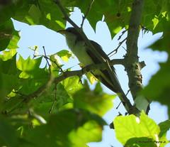 Yellow-billed Cuckoo_N4250 (Henryr10) Tags: ottoarmlederpark hamiltoncountyparkdistrict cincinnati ottoarmledermemorialpark armlederpark littlemiamiriver greatparksofhamiltoncounty usa ohio retentionpond yellowbilledcuckoo cuckoo coccyzus coccyzusamericanus avian bird vogel ibon oiseau pasare fågel uccello tékklistar ybcu