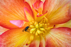 'Beauty and the Beast' (Canadapt) Tags: fly flower macro closeup pistil stamen petal begonia garden keefer canadapt