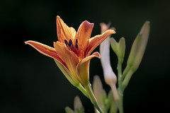 Morning Light (Kevin Tataryn) Tags: lily flower garden nikon d500 300mm f4 prime plant morning