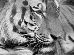 Tiger (dennisgg2002) Tags: cleveland zoo ohio oh animals