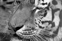 Tiger B&W (dennisgg2002) Tags: cleveland zoo ohio oh animals