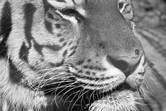 Tiger B&W 2 (dennisgg2002) Tags: cleveland zoo ohio oh animals