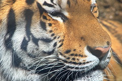 Tiger 2 (dennisgg2002) Tags: cleveland zoo ohio oh animals