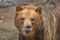 Derpy Brown Bear (dennisgg2002) Tags: cleveland zoo ohio oh animals