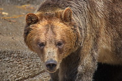 Brown Bear (dennisgg2002) Tags: cleveland zoo ohio oh animals