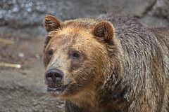 Brown Bear 6 (dennisgg2002) Tags: cleveland zoo ohio oh animals