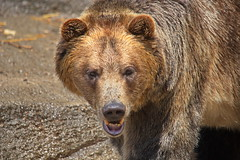 Brown Bear 5 (dennisgg2002) Tags: cleveland zoo ohio oh animals