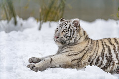 Stretching in the snow (Tambako the Jaguar) Tags: tiger big wild cat bengal white female tigress young cub cute lying resting stretching profile portrait face snow winter cold bamboo siky park zoo crémines switzerland nikon d5