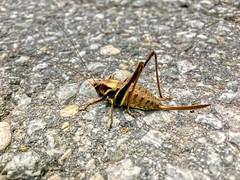 Grasshopper (UweBKK (α 77 on )) Tags: breitenau bavaria bayern germany deutschland europe europa iphone grasshopper animal fauna insect stone macro makro detail