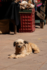 Dog in Pisac Market (misseka) Tags: peru sacredvalley pisac market dog